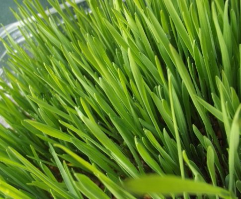 Wheatgrass: Everything You Need to Know About the 'Liquid Gold'